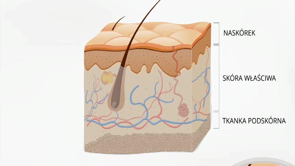 Budowa ludzkiej skóry oraz jej warstwy